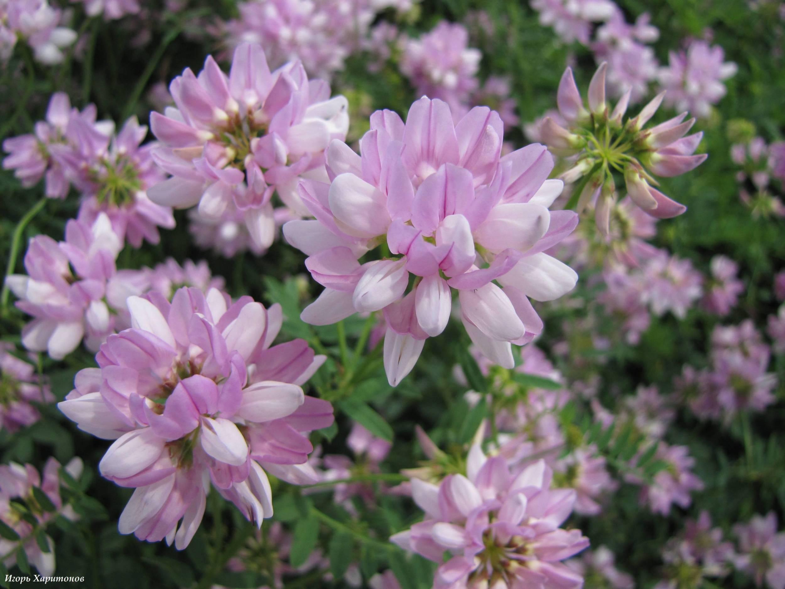 Цветок вязель