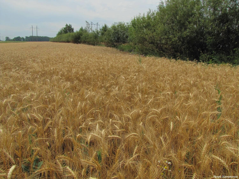Выращивание пшеницы в ставропольском крае 227