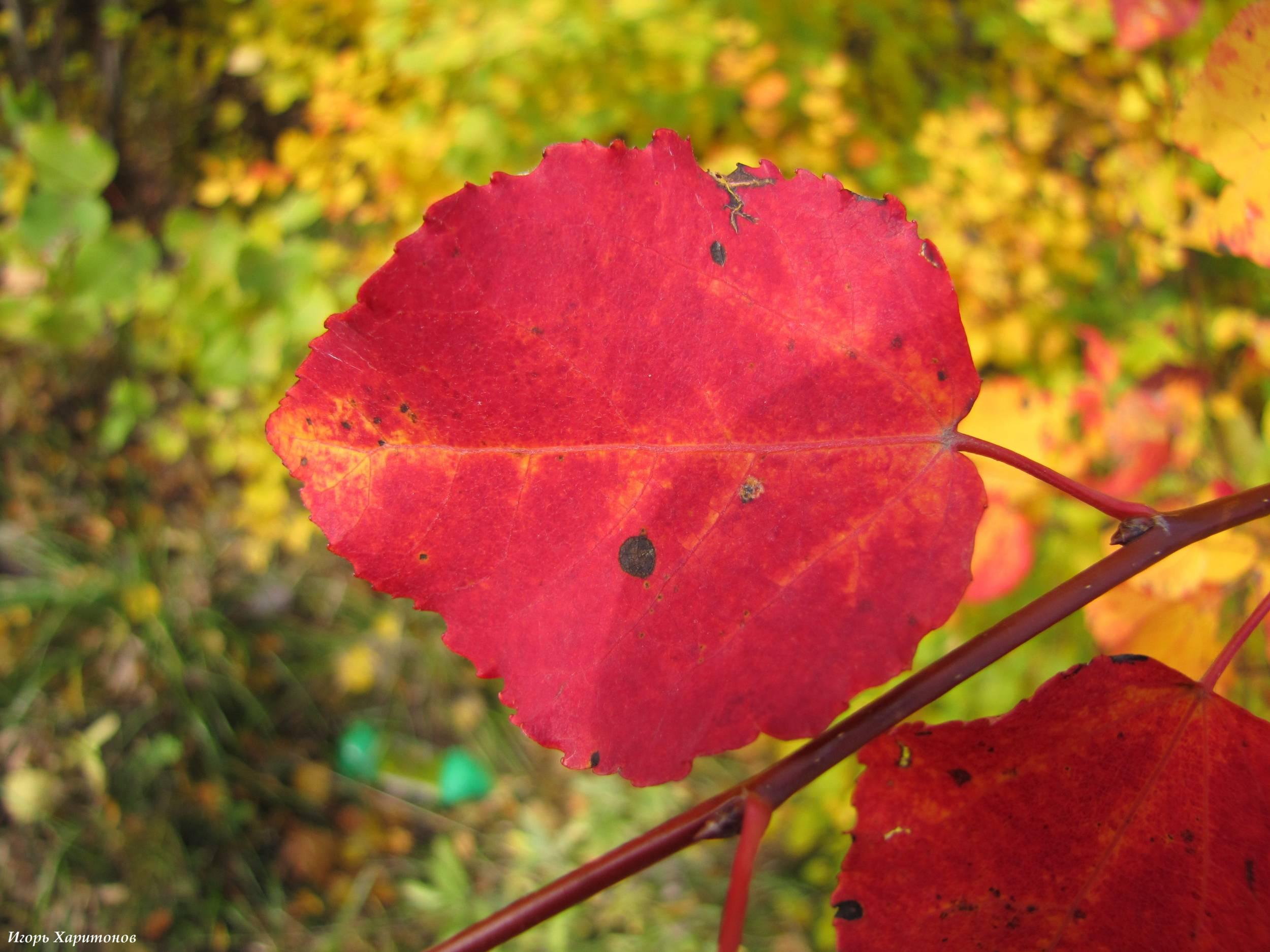 Как выглядит дерево осина фото