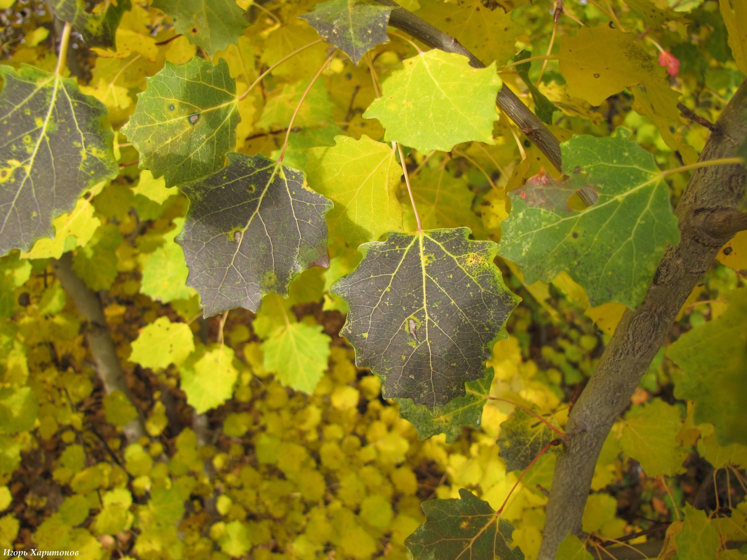 Фото листьев осины сделано в